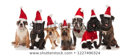 seven lovely santa dogs of different breeds sitting and standing Stock photo © feedough