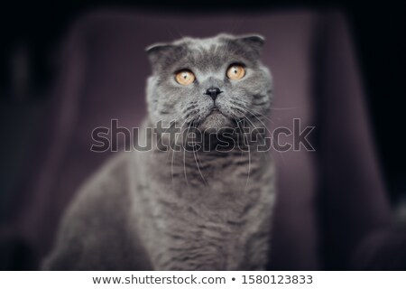 Cute British shorthair kitten sitting on armchair, indoors Stock photo © dashapetrenko
