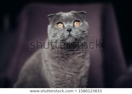 Cute brits korthaar kitten vergadering fauteuil Stockfoto © dashapetrenko