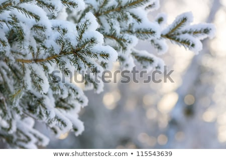 Foto d'archivio: Pine Tree Branches Evergreen Spruce with Snowflake