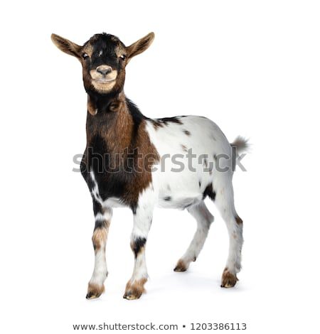 Funny smiling white, brown and black spotted pygmy goat Stock photo © CatchyImages