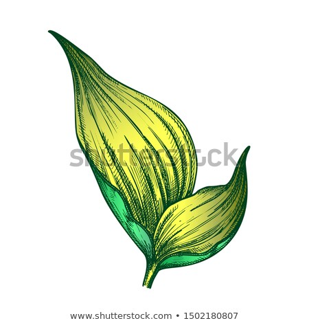 Rhapis Robusta Tropical Leaf Hand Drawn Vector Stock photo © pikepicture