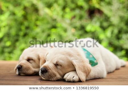 weinig · labrador · retriever · puppies · twee · aanbiddelijk - stockfoto © ilona75