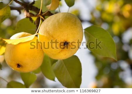 körte · akasztás · ág · gyümölcsfa · gyümölcs · zöld - stock fotó © diego_cervo