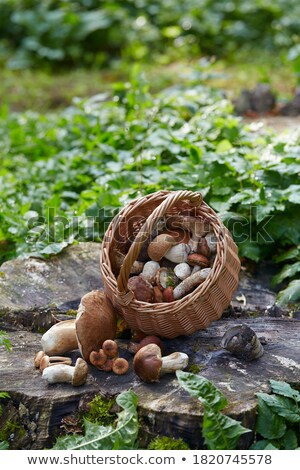 porcini mushroom in autumn oak leaves Stock photo © romvo