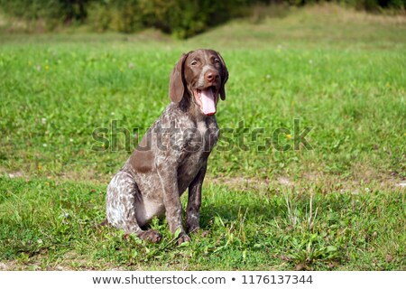 Portrait of a yawning German pointer Stock photo © vauvau