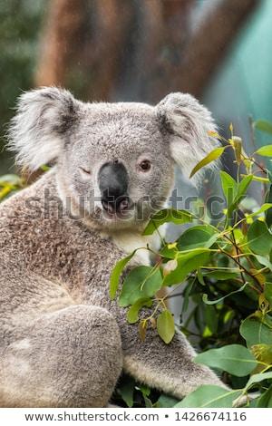 Funny koala animal winking blinking cute wink at camera at Sydney Zoo in Australia. Australia wildli Stock photo © Maridav