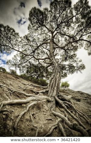 Fa gyökerek hdr gyökér struktúra fölött Stock fotó © bobkeenan
