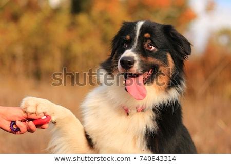 Eğitim köpek eğitim köpek itaat saç mavi Stok fotoğraf © ivonnewierink