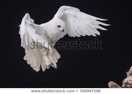 snowy owl in flight stock photo © pictureguy