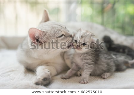Americano shorthair gato branco animal gatinho Foto stock © vlad_star