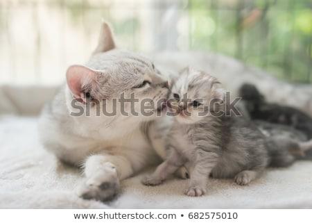 amerikaanse · korthaar · kat · witte · dier · kitten - stockfoto © vlad_star