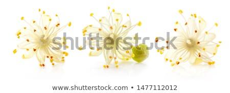 Citrus virág teáscsésze tea friss virágok Stock fotó © joker