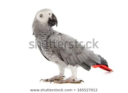 африканских · серый · Parrot · красный · рассказ · Перу - Сток-фото © chris2766