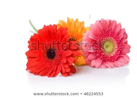 Fresh pink and yellow gerbera Stock photo © posterize