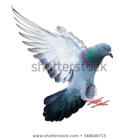 Flying Pigeon Stock photo © vectomart