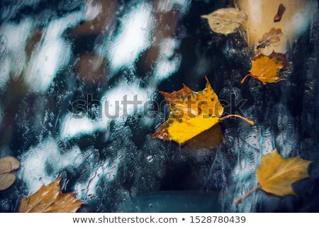 Wet autumn leaves, clinging to the window stock photo © suliel