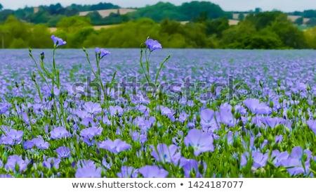 blue flax field Stock photo © smithore