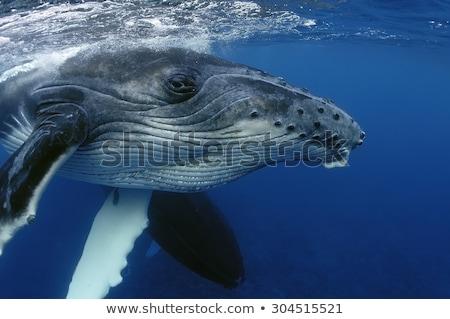 balina · dalgıç · güneş · okyanus - stok fotoğraf © mojojojofoto