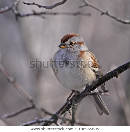 sitting american tree sparrow stock photo © ca2hill