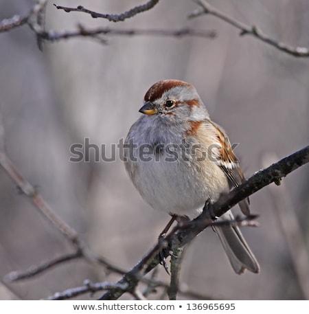 Sessão americano árvore pardal inverno tiro Foto stock © ca2hill