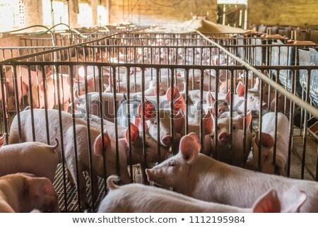 Slaughtered pigs Stock photo © smuki