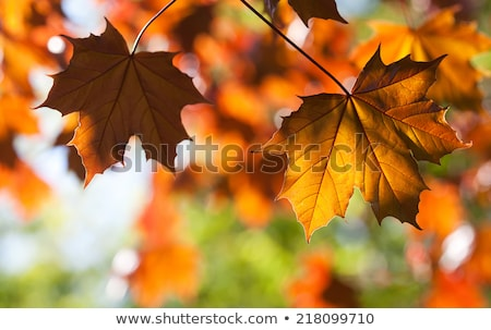 Autumn leaves, soft shallow focus. Stock photo © beholdereye