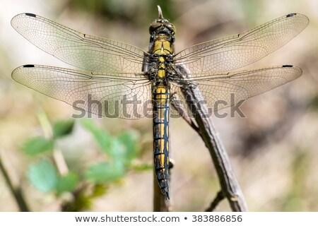 Amarelo libélula cinza em pé jardim Foto stock © rhamm