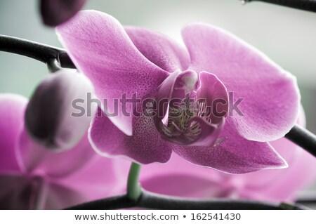 close up of Beautiful purple orchid - phalaenopsis Orchis purpurea Stock photo © tarczas