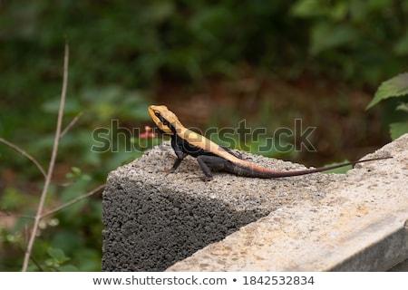 Lézard mur haut sable Photo stock © davemontreuil