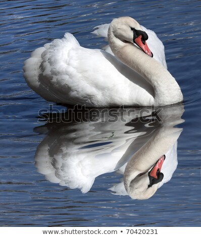 Noble swan with reflection in the water  Stock photo © EwaStudio