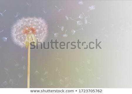 dandelion · branco · primavera · luz · projeto - foto stock © m_pavlov