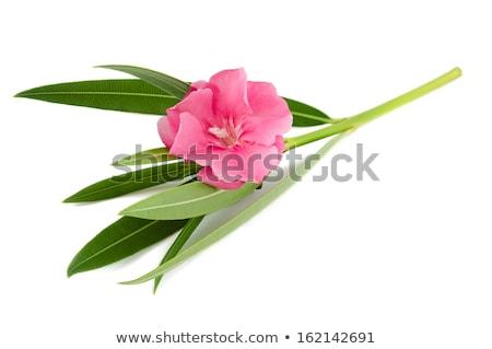 Nerium Oleander Flowers Stock photo © danielbarquero