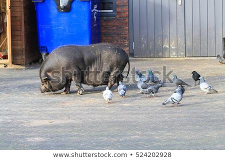 çiftlik · domuzlar · ışık · grup · bacaklar · et - stok fotoğraf © meinzahn