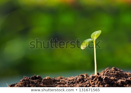 green shoots Stock photo © rabel