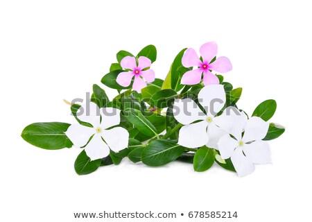 Madagaszkár rózsás rózsa fű kert háttér Stock fotó © sweetcrisis