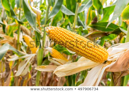 Stock photo: Corn Maize Cob on stalk in field