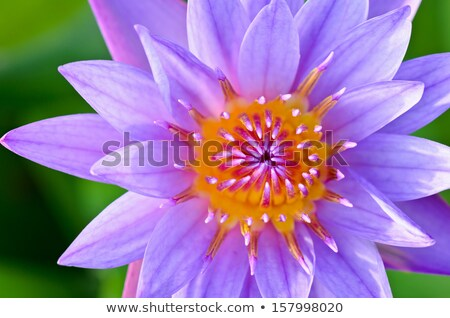 close up top of purple lotus nymphaea nouchali stock photo © yongkiet