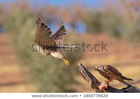 Eurasian Kestrel Stock photo © suerob