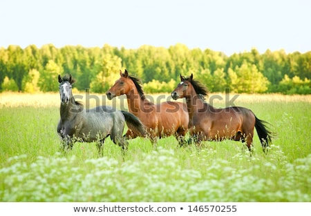 Stock photo: Herd of Beautiful Young Horses Graze on the Farm Ranch