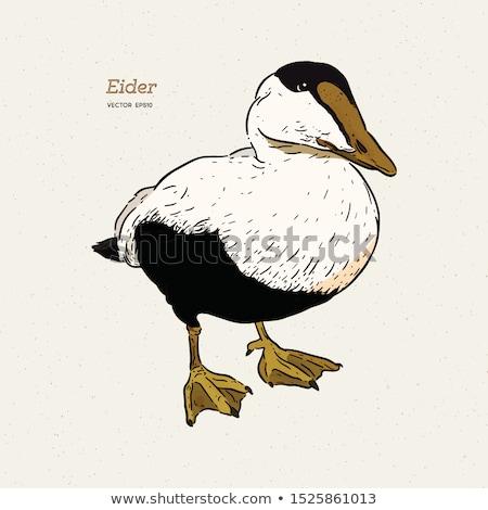 Mavi tüy kadın hayvan ördek erkek Stok fotoğraf © chris2766