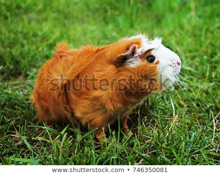 Guinea pig on grass Stock photo © Paha_L