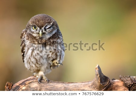 little owl in winter stock photo © martin_kubik
