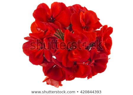 Rouge fleur nature été vert Photo stock © olykaynen