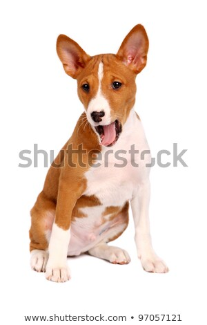 basenji puppy yawning stock photo © silense