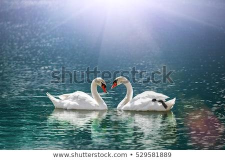 Pár hattyú szív szeretet esküvő szimbólum Stock fotó © HunterX