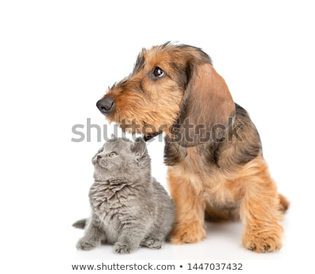 Puppy brown short hair dachshund standard in white studio Stock photo © vauvau