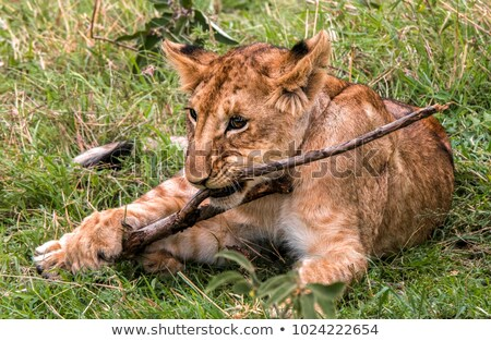 Lion cub chewing on a stick. Stock photo © simoneeman