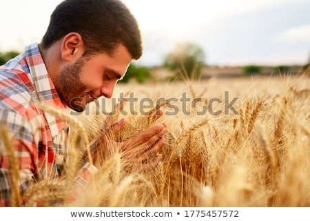 Agronomist examining ears of the wheat crops in field Stock photo © stevanovicigor