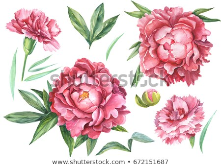 set carnation flowers white pink and red carnation stock photo © orensila